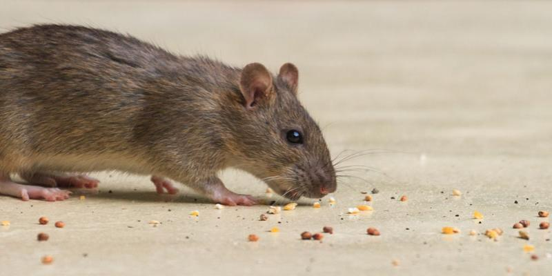 Rodent Treatments in Eastern NC